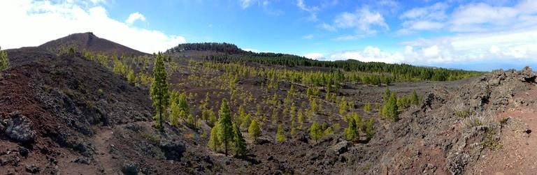 Junger Kiefernwald auf Lavaberg